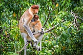 Female proboscis monkey and young