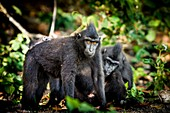 Crested black macaques, Indonesia