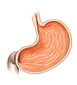 Stomach anatomy, illustration