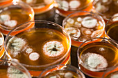 Cultures growing on Petri dishes