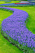 Flower bed of grape hyacinths (Muscari sp.)