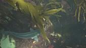 European bass swiming in kelp