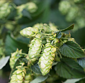 Hops (close-up)