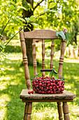 Süsskirschen im Drahtkorb auf Gartenstuhl
