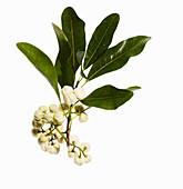 Lemon and white aspen