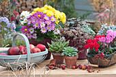 Herbst-Arrangement mit Chrysanthemen und Alpenveilchen