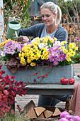 Frau gießt Trio Chrysanthemen im Holzkasten