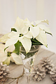 White poinsettias in an antique wineglass
