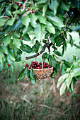 A basket of fresh sweet cherries hanging on a cherry tree