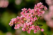 Pinke Blüten vom Buchweizen