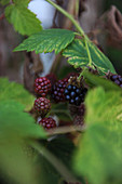 Blackberries on stalk
