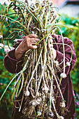 A man holding freshly harvested garlic in his hands