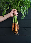 Bunch of fresh garden carrots with green leaves in the hand