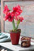 Blühende Amaryllis dekoriert mit Zapfen