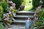 Bergenien 'Biedermeier'  säumen die Gartentreppe