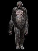 Ardipithecus ramidus early hominid, illustration