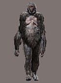 Ardipithecus ramidus female, illustration