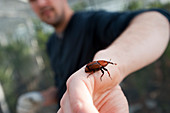 Red palm weevil research