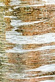 Bark of paper Birch, Betula papyrifera