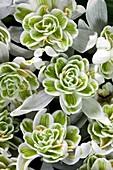 "Galanthus nivalis flore pleno"""" flowers"""