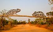 Globe-horned chameleon