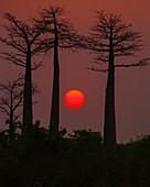 Baobab Avenue at sunset
