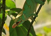 Chameleon extending its tongue