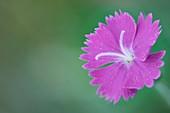 Carnation (Dianthus gratianopolitanus 'Firewitch')