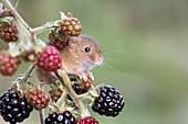 Harvest mouse on blackberries, UK