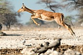 Female impala jumping