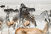 Zebra, springboks and ostriches
