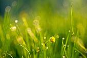 Buttercup flower in a meadow