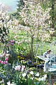 Blühende Felsenbirne mit Stiefmütterchen unterpflanzt