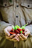 Gardener holding ripe chili peppers