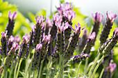 Lavender in sunshine