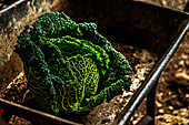 A fresh savoy cabbage