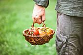 Mann mit frisch geernteten Tomaten in einem Körbchen