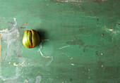 Eine Tomate auf grünem Holzuntergrund