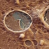 Coxiella Vakuole 3700x - Coxiella brunetii in Vacuole 3700-1