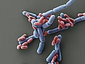 Probiotische Bakt 13000x - Probiotische Bakterien, Lactobacillus paracasei, 13 000:1