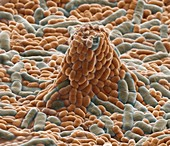 Probiotische Bakt 14000x - Probiotische Bakterien, Lactobacillus paracasei, 14 000:1