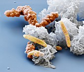 Acidovorax4kx - Bakterien, Acidovorax 14 000:1