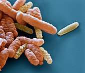 Acidovorax8kx - Bakterien, Acidovorax 18 000:1