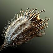 Odermenning 30x - Botanik, Odermennig, Samen, 30:1