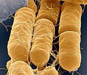 B cereus 40kx - Bacillus cereus, 40 000:1