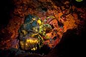 Fluoreszenz bei Meerestieren, Einsiedlerkrebs
