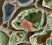 Aconitum Zelle 6000x - Eisenhut, Zelle und Leitgefäss, 6000:1