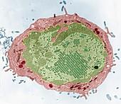 Adenoviren im Zellk 10kx - Adenoviren in einer Zelle 10 000:1