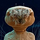 Aedes aegypti L 120x - Larve der Tigermücke, 120:1