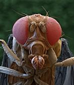 Drosophila suzukii 90x - Kirschessigfliege, 90:1